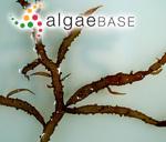 Chylocladia wrightii (Harvey) Okamura