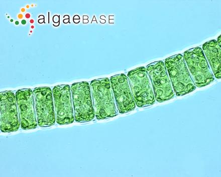 Callithamnion elegans Schousboe ex C.Agardh