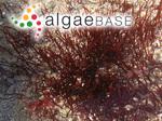 Cordylecladia erecta (Greville) J.Agardh