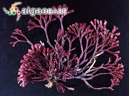 Ascocyclus hispanicus Sauvageau