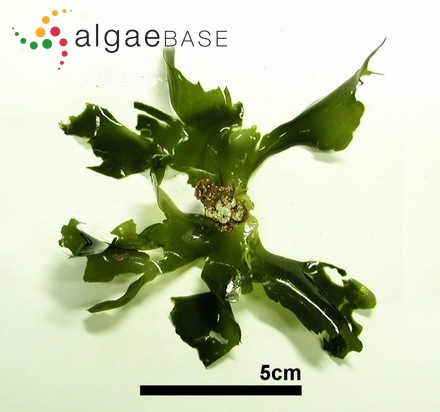 Ascocyclus balticus Reinke