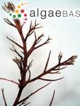 Rhodophysema africana D.M.John & G.W.Lawson