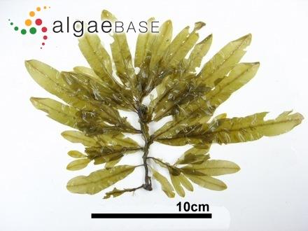 Melobesia marginata f. sargassi Foslie