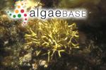 Yamadaella caenomyce (Decaisne) I.A.Abbott