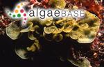 Zonaria diesingiana J.Agardh