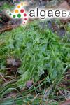 Ulva lactuca Linnaeus