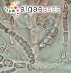 Dudresnaya verticillata (Withering) Le Jolis