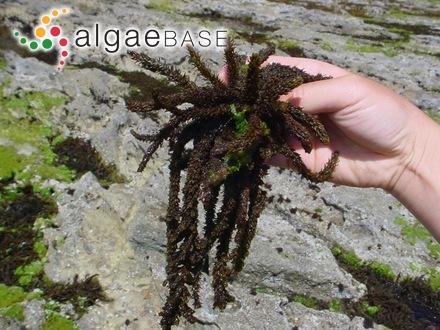 Gigartina elegans Greville