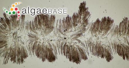 Sphaerococcus musciformis (Wulfen) C.Agardh