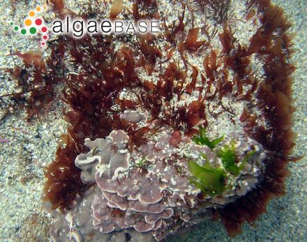 Gymnogongrus densus J.Agardh