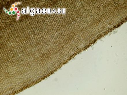 Sphaerococcus furcellatus C.Agardh