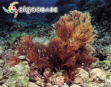 Phyllotylus flabellatus J.Agardh