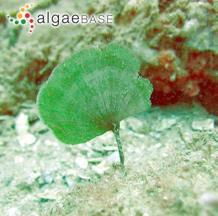 Chylocladia cliftonii Harvey