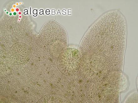 Kylinia microscopica (Nägeli ex Kützing) Kylin