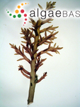 Chondria armata (Kützing) Okamura