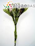 Cladophora prolifera (Roth) Kützing
