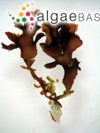 Gelidium pusillum f. foliaceum Okamura