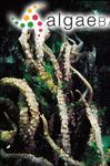 Kappaphycus cottonii (Weber Bosse) Doty ex H.D.Nguyen & Q.N.Huyn
