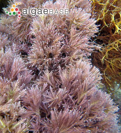 Jania squamata (Linnaeus) J.H.Kim, Guiry & H.-G.Choi