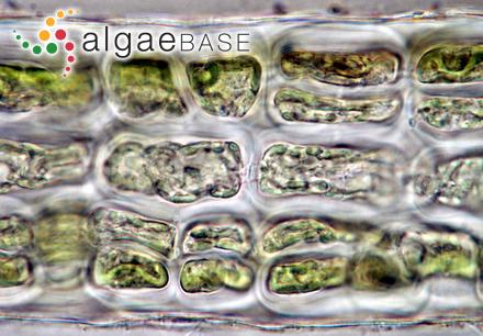 Aglaozonia parvula (Greville) Zanardini