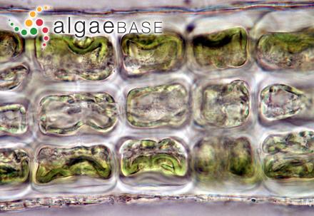 Dictyota dichotoma var. implexa (Desfontaines) S.F.Gray