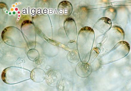 Castagnea chordariiformis (P.Crouan & H.Crouan) Thuret