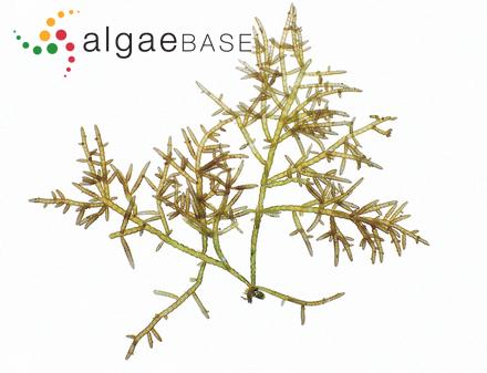 Striaria attenuata f. fragilis (J.Agardh) Kjellman