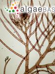 Heterosiphonia japonica Yendo