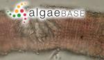 Hildenbrandia rubra (Sommerfelt) Meneghini