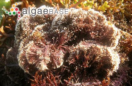Aglaothamnion furcellariae (J.Agardh) Feldmann-Mazoyer