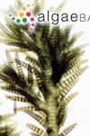 Spyridia hypnoides (Bory) Papenfuss