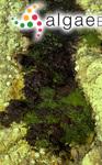 Ophidocladus schousboei (Thuret) Falkenberg