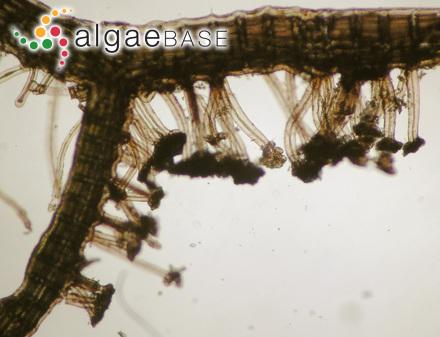 Urospora speciosa (Carmichael) Leblond ex Hamel