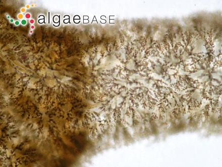 Sphacelaria saxatilis (Kuckuck) Kuckuck ex Sauvageau