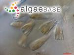 Rhoicosphenia curvata (Kützing) Grunow