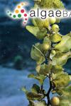 Carpacanthus ilicifolius (Turner) Kützing