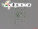 Synechococcus nidulans (Pringsheim) Komárek