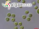 Tetraspora gelatinosa (Vaucher) Desvaux