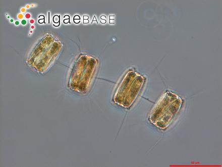 Enteromorpha prolifera f. capillaris (Kützing) V.J.Chapman