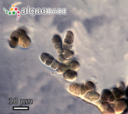 Cymbellonitzschia minima Hustedt