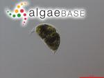 Cystodinium cornifax (A.J.Schilling) G.A.Klebs