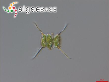 Polyphacum dichotomum J.Agardh