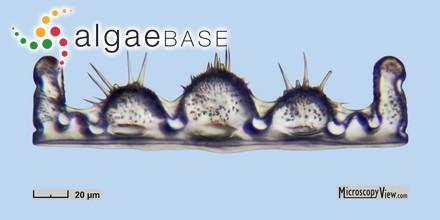 Ceramium siliquosum var. elegans (Roth) G.Furnari
