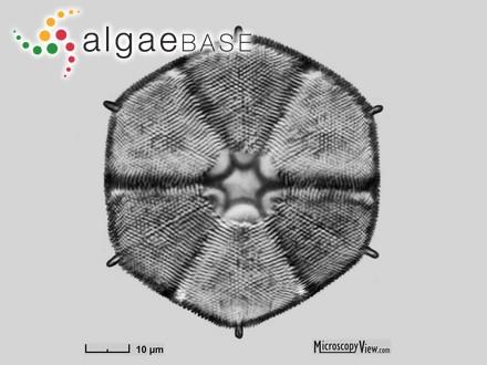 Himantothallus korotkeviczii A.D.Zinova