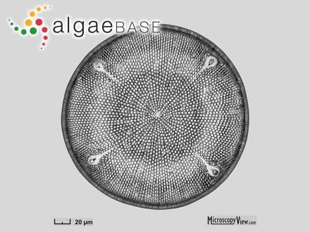 Microcystis sanguinea (C.Agardh) Kützing