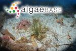 Lambia antarctica (Skottsberg) Delépine
