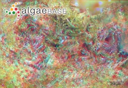 Didymosphenia geminata (Lyngbye) Mart.Schmidt