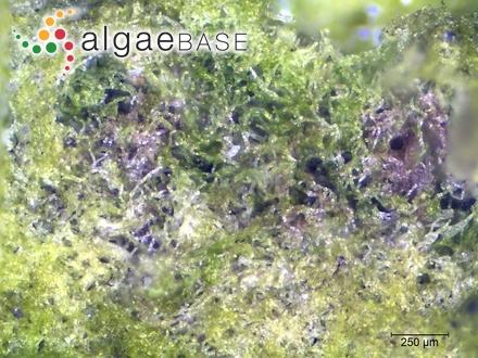 Gomphonema acuminatum f. malayensis Hustedt