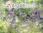 Hormidiopsis crenulata (Kützing) Heering