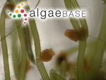 Nitella opaca (C.Agardh ex Bruzelius) C.Agardh